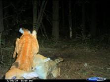 Coyote vs Bambi
