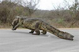 Croc > Hog