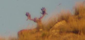 Deer on Hill Top