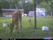 Strange: Doe has antlers and fawn.