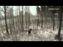 Drone VS Moose