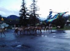 Elk at the Carnival