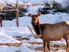 Elk in a Bar Stool