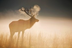 Elk in the Morning