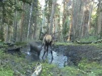 Elk playing in mud