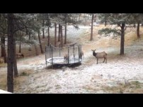 Even Elk Like Trampolines