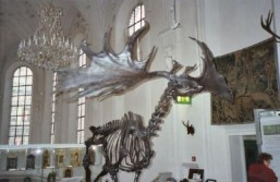 Extinct European Giant Elk