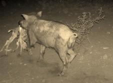 Wild Hog Kills Fawn