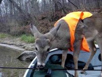 Deer can fish too.