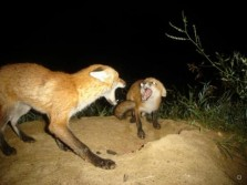 Fox Gamecam