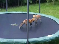 Foxes Jumping On Trampoline