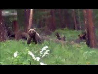 Giant Bear Charging Hunters