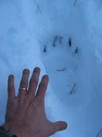 Grizzly Tracks?