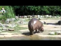 Hippo gets explosive diarrhea!