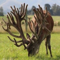 Largest Stag Ever