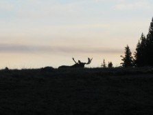 Moose While Elk Hunting
