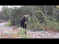 Moose with  branch stuck in his antlers