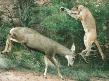 Mountain Lion Attacking a Mule Deer