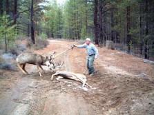 Mule Deer with Locked Antlers