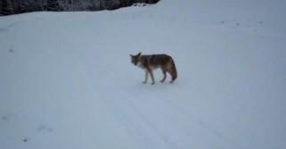 Rare Coyote Attack Caught on Film