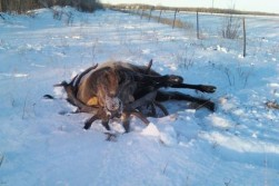 Record Elk Stuck in the Snow