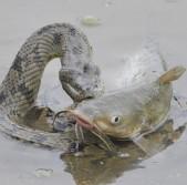 Snake Bites Catfish