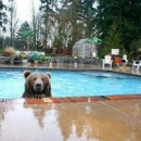 Swiming Bear