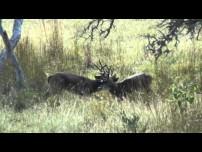 Texas Buck Fight Video