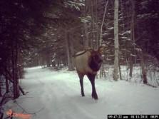 The Strangest Elk I've Seen