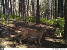 Trail Cam Captures Cougar Killing Fawn