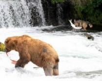 Bear vs Wolf and....GO!