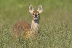 Vampire Deer!