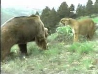 Wild cougar bear fight