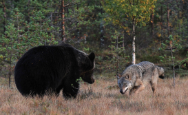 Wolf Challenging a Bear