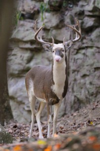 World's Biggest Badest Piebald Buck