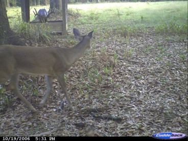 Alabama Buck