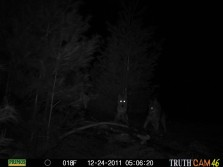 awsome coyote pic
