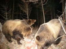 Bear Feeding on Deer Carcass