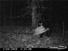 Bear on GameCamera