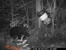 Bears at bait
