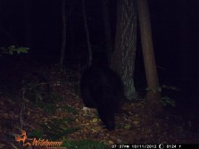 Bigwoods bears