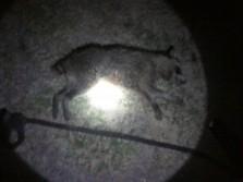 bob tail boar coon