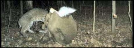 Bobcats can kill mature deer!