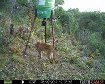 Cougar close to Guadalajara