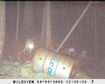 Coyote at my bear bait