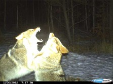 Coyote Fight Caught on GamerCam
