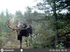 Decent Moose
