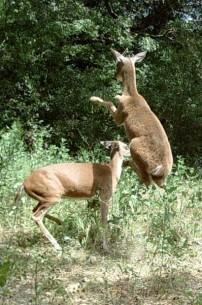 Deer MMA