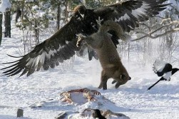 Eagle is hungry too!