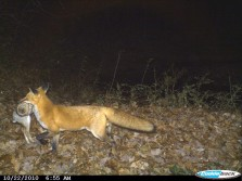 fox holding his kill from friends trail cam